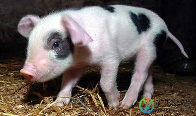 为什么你的小猪总是养不活?